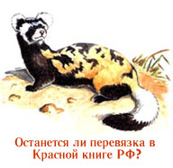 Will the Marbled polecat stay in the Red Data Book of Russian Federation?