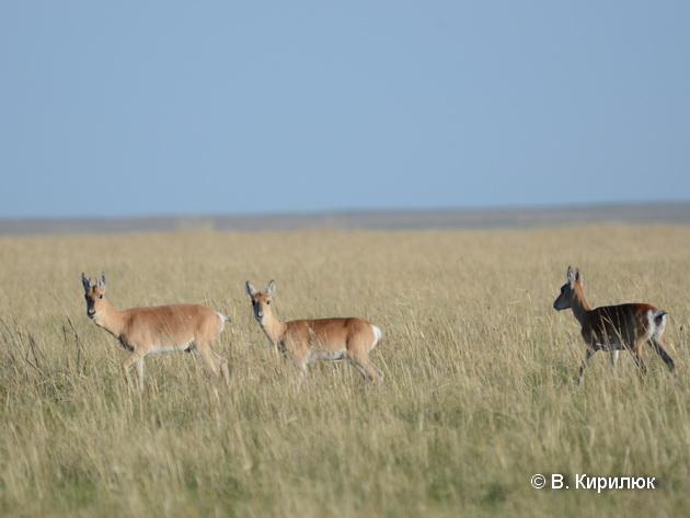 Годовые особи еще хорошо отличаются по размеру, а у самцов рога не выше ушей. Фото В.Кирилюка