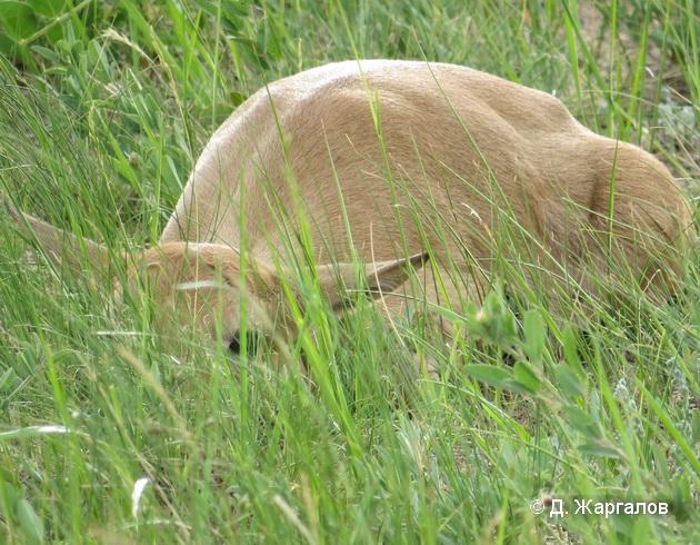 Летом затаиваются не только детеныши, но, иногда, и взрослые самки. Фото Д. Жаргалова