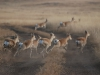 Дзерены стремятся перебежать дорогу. Северо-Восточная Монголия, октябрь 2011. Фото Вадима Кирилюка
