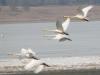 Лебеди на озере Баин-Цаган, окрестности Даурского заповедника, Забайкальский край, апрель 2008. Фото А.Н. Барашковой