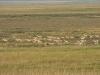 Дзерены, Даурский заповедник, Забайкальский край. Фото А.Н. Барашковой