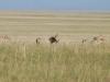 Самец дзерена в стаде летом. Даурский заповедник, Забайкальский край. Фото В.Е. Кирилюка