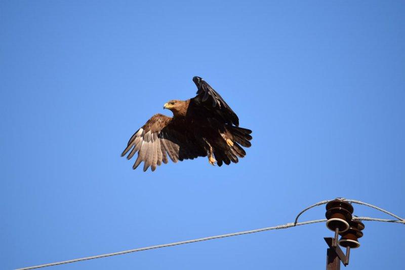Степной орел и птицеопасная ЛЭП. Фото предоставлено Р.А. Меджидовым