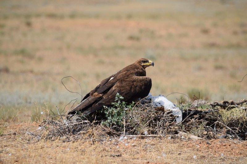 Самка степного орла на гнезде, Республика Калмыкия. Фото предоставлено Р.А. Меджидовым