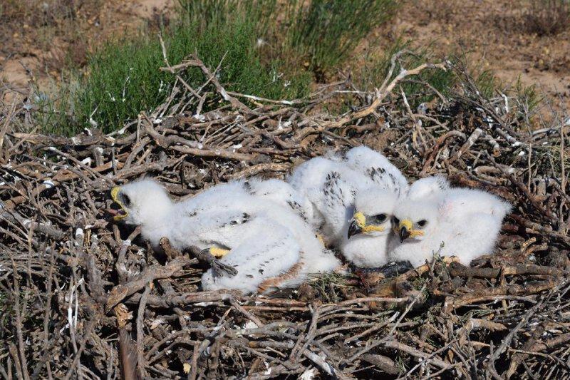 Птенцы степного орла в гнезде, Республика Калмыкия. Фото предоставлено Р.А. Меджидовым