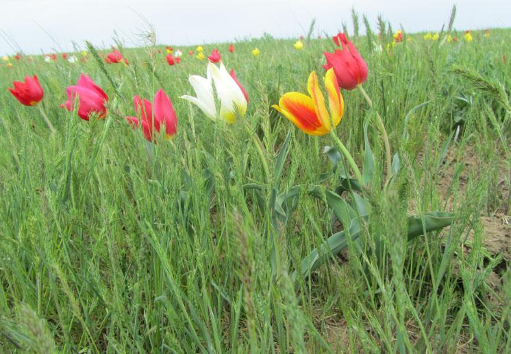 Тюльпан Геснера, Республика Калмыкия, 22.04.2014. Фото Р. Джаповой