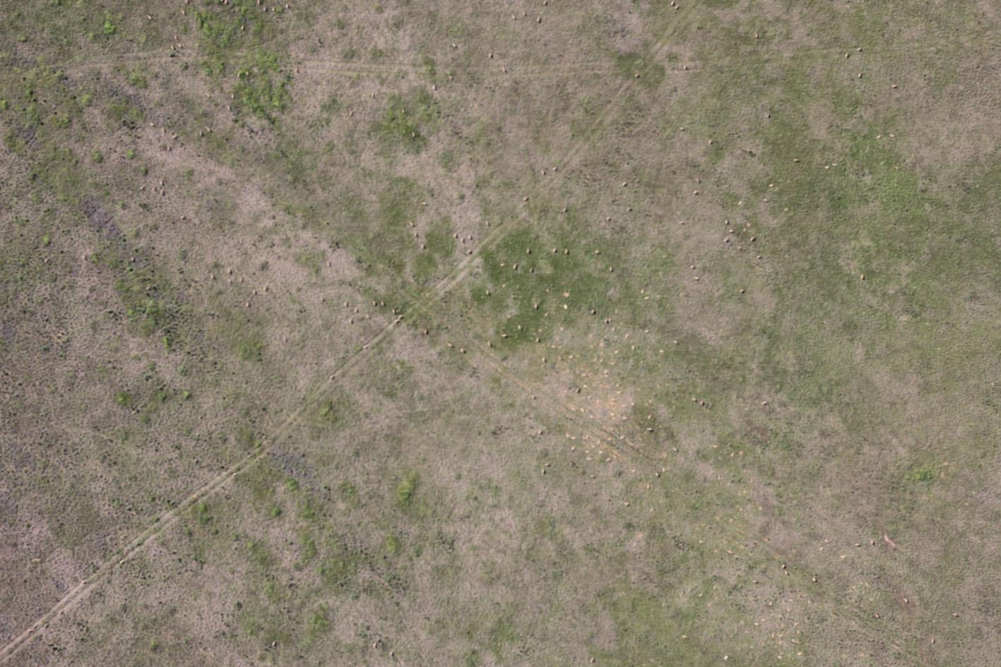 Фото, сделанные во время учетов сайгаков с беспилотного летательного аппарата