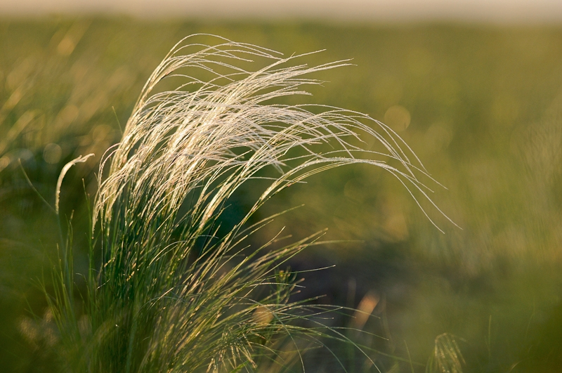 Feather grass in the steppe of Cherniye Zemly (Black Earth) Nature Reserve, Kalmykia, Russia, May 2009. Photo by Igor Shpilenok