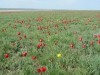 Общий вид планируемого памятника природы «Тюльпановая степь», Республика Калмыкия. Фото Р. Джаповой