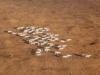 Стадо сайгаков, авиапатрулирование в заповеднике «Черные земли», декабрь 2015 г. Фото предоставлено заповедником