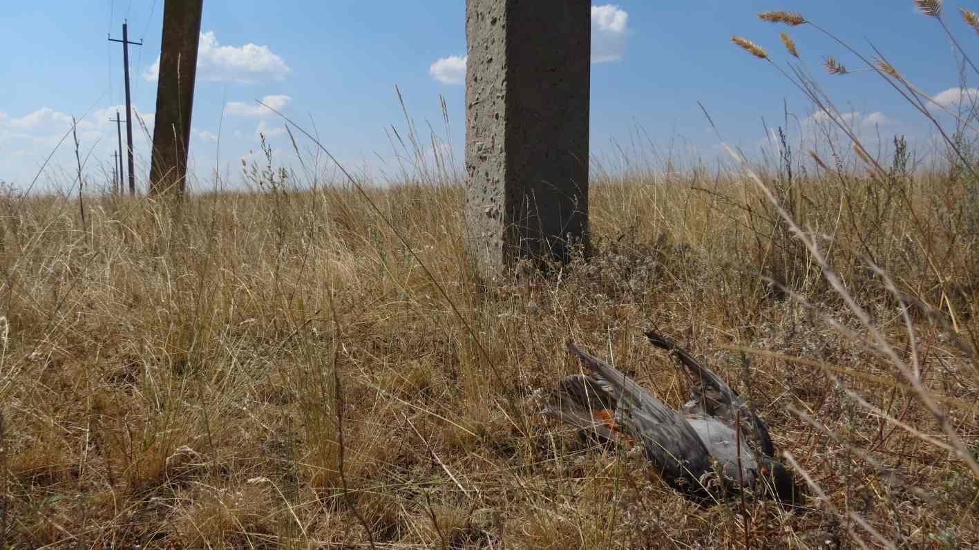 Погибший кобчик под линией электропередач. Ташлинский район, Оренбургская область. Фото Е. Барбазюка