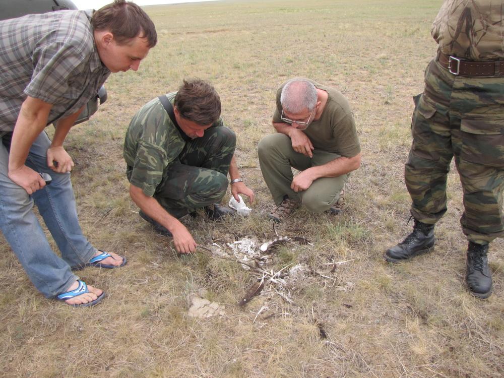 Осмотр остатков степного орла под ЛЭП, Светлинский район, Оренбургская область. Фото А.Н. Барашковой