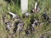 Пустельги, погибшие на ЛЭП. Фото О. Горошко