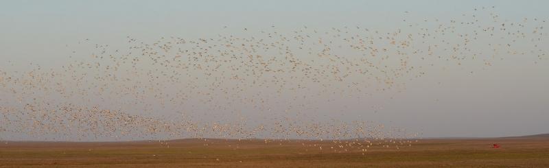 Стрепеты в полете. Фото А. Антончикова