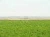Самка стрепета над полем житняка, Оренбургская область. Фото В.Н. Федосова