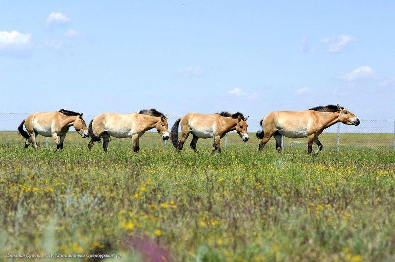 Лошади Пржевальского, Оренбургский заповедник. Фото Н. Судец