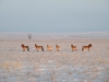 Лошади Пржевальского в Оренбургской степи. Фото Т. Жарких