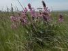 Копеечник серебристолистный (Hedysarum argyrophyllum), Предуральская степь, Оренбургская область. Фото И. Смелянского