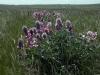 Копеечник серебристолистный - эндемик южно-уральских степей, занесен в Красную книгу Оренбургской области. Фото И. Смелянского