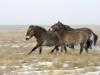 Лошади Пржевальского. Фото Н. Судец
