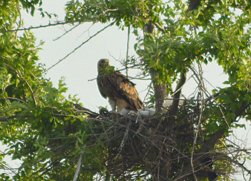 Молодая самка орла могильника из пары со степным орлом на гнезде с птенцами. Фото И. Карякина