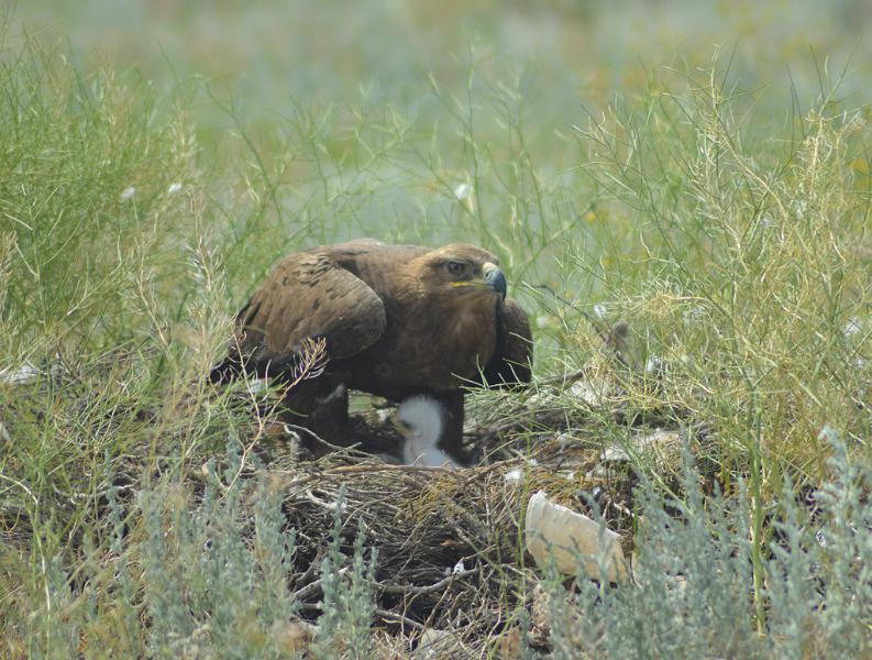 Самка степного орла на гнезде с птенцами. Фото И. Карякина