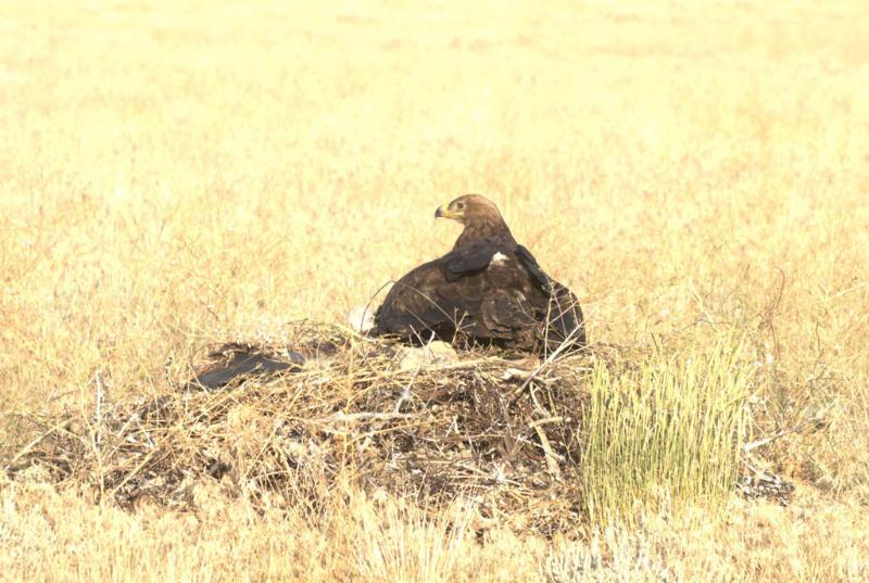 Самка степного орла на гнезде. Фото А. Мацыны