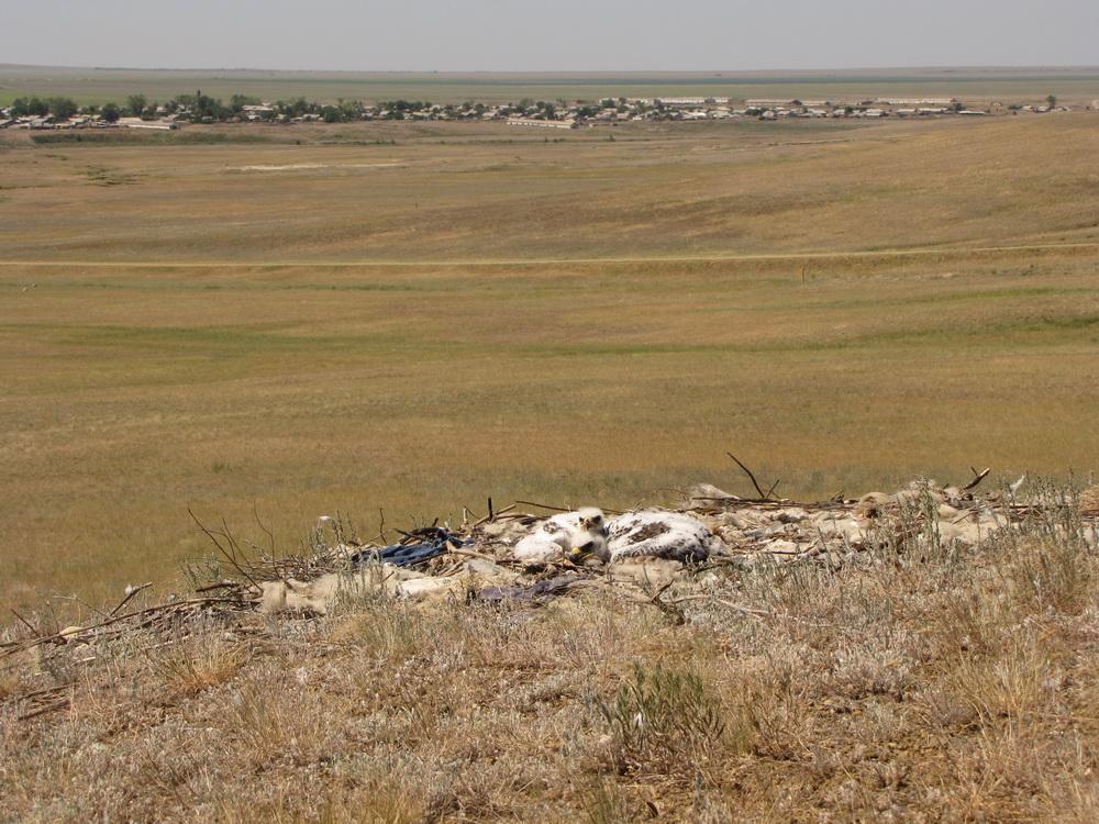 Гнездо степного орла в видимости пос. Шкуновка, Акбулакский район, Оренбургская область. Фото С. Бакки