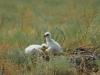 Птенцы степного орла в гнезде. Фото И. Карякина