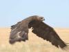 Степной орел, Калмыкия. Фото А. Мацыны