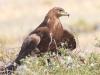 Самка степного орла на гнезде с птенцами. Фото А. Коваленко