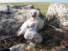 Птенец степного орла в гнезде, Оренбургская область. Фото И. Карякина