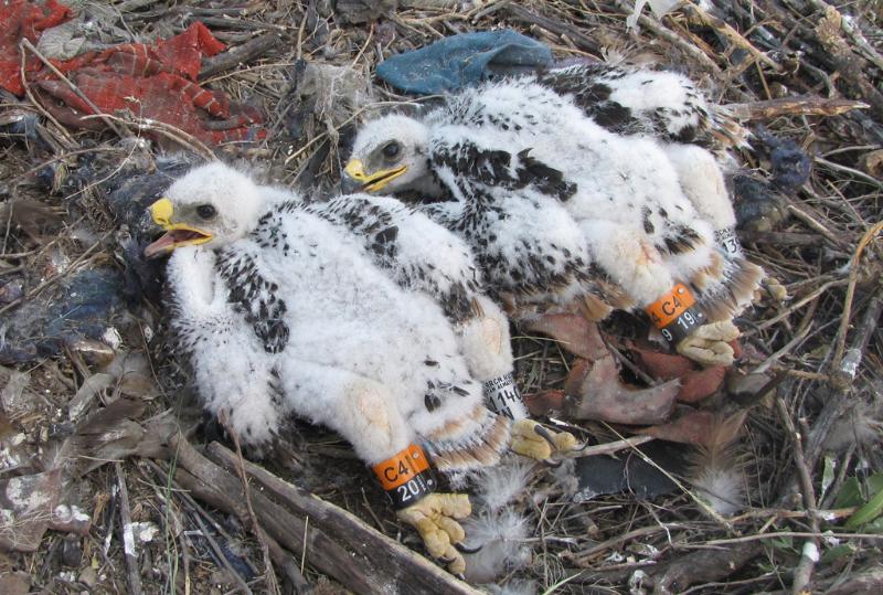 Птенцы степного орла, помеченные кольцами. Фото И. Карякина