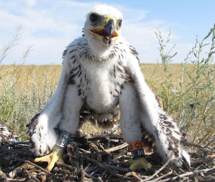 Птенец степного орла, помеченный кольцами 28 июня 2015 г. Фото И. Карякина