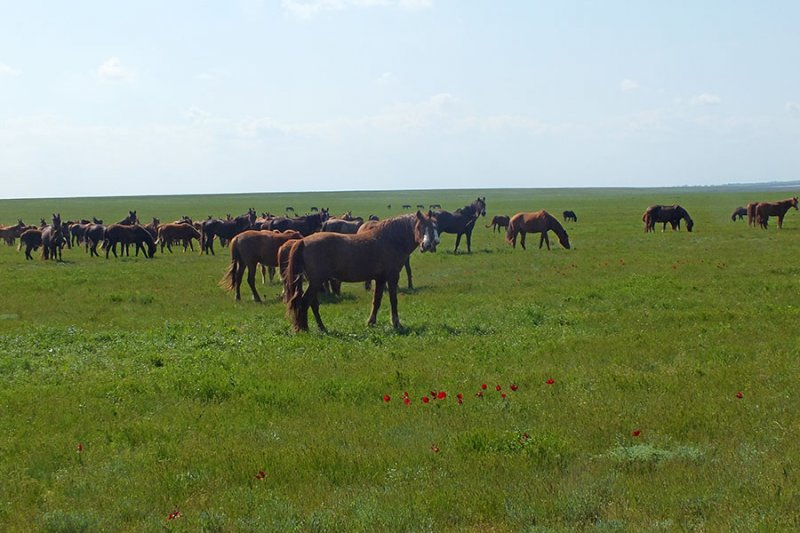 Табун диких лошадей. Фото предоставлено Н.Н. Лебедевой