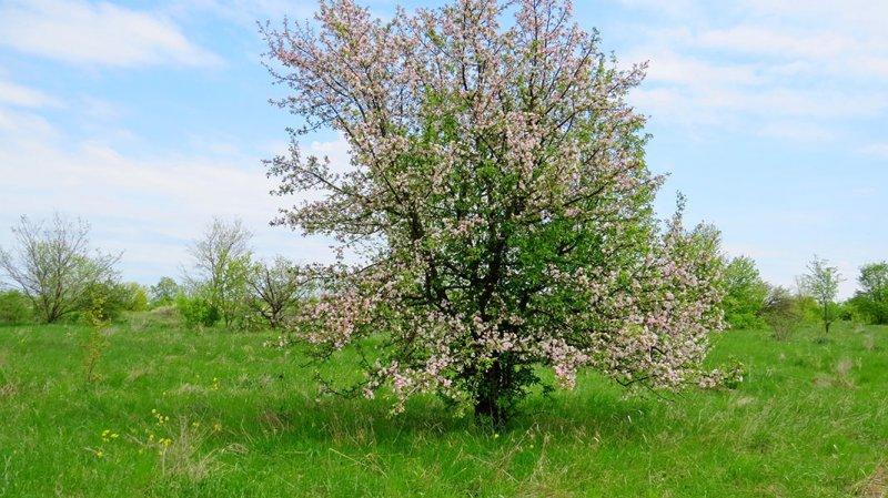 Яблоня ранняя в цвету, Центрально-Черноземный заповедник. Фото Г. и О. Рыжковых