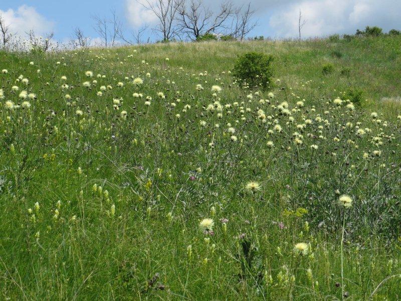 Василек русский (Centaurea ruthenica), Курская область. Фото Е.А. Скляра