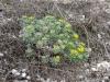Бурачок ленский (Alyssum lenense) – редкий вид флоры Курской области. Фото А.В. Полуянова