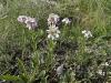Клаусия солнцелюбивая (Clausia aprica). Очень редкий для Курской области вид, известный из единичных местонахождений. Отмечен по петрофитным степям и меловым обнажениям на южных и западных склонах большого холма в юго-восточной части урочища. Встречается редко, численность низкая. Фото А.В. Полуянова