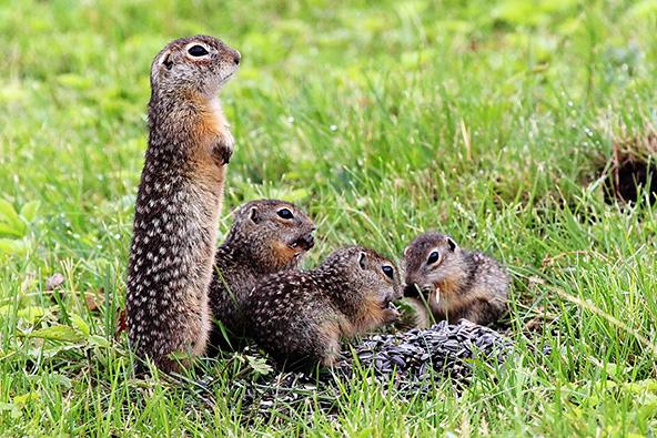 Интродукция крапчатого суслика. Сейчас малышам нечего бояться - весь вид и поведение матери говорят о том, что всё вокруг спокойно. Фото С.Ф. Сапельникова