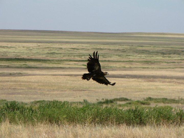 Степной орел, бассейн р. М. Хобда, Акбулакский район, Оренбургская область, июнь 2010. Фото А.Н. Барашковой