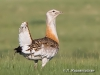Great Bustard (Otis tarda). Photo by L. Jargalsaikhan