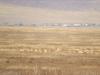 Дзерены в охранной зоне Сохондинского заповедника. Фото с сайта Сохондинского заповедника