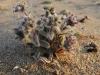 Черепоплодник почтишерстистый (Craniospermum subvillosum). Фото Надежды Степанцовой