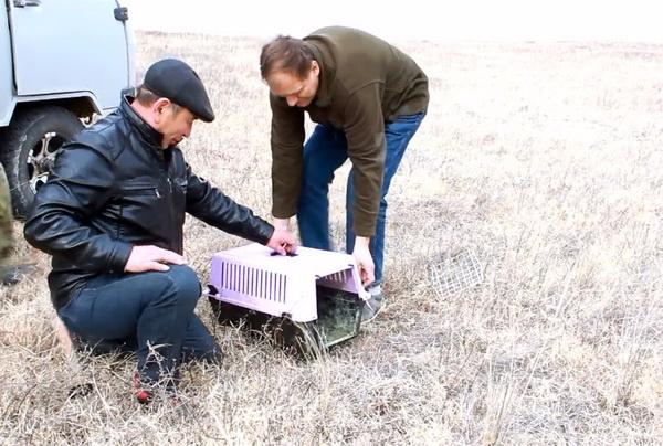 Директор Даурского заповедника и ветеринар Ононского района выпускают манула