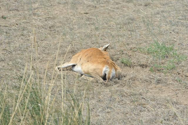 Погибшая самка дзерена. Фото С. Найденко