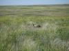 На поздних стадиях залежной сукцессии в сухостепной подзоне формируется вторичная степь; здесь ее будущие доминанты – плотнодерновинные злаки ковылок и житняк (Stipa lessingiana и Agropyron pectinatum) – еще соседствуют с обильным рудеральным разнотравьем. На подобных залежах нередко держится журавль-красавка. Долина р. Аягуз. Аягозский р-н Восточно-Казахстанской области. Июнь 2007. Фото И. Смелянского