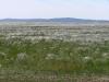 Вторичная ковылковая степь на завершающей (?) стадии залежной сукцессии в сухостепной подзоне. Хорошо выражен аспект доминирующего здесь ковылка (Stipa lessingiana). Долина р. Аягуз, Аягозский р-н Восточно-Казахстанской области. Июнь 2007. Фото И. Смелянского