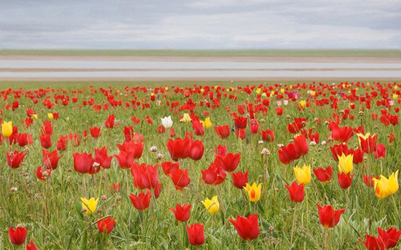 Тюльпановые степи Калмыкии - наряду с сайгаком, один из главных природных символов республики. Эти сухие и опустыненные степи с высоким обилием тюльпана Шренка (он же - тюльпан Геснера) распространены в долине Маныча. Большая часть их была уничтожена распашкой и иным освоением. На сохранившихся участках цветущие тюльпаны массово собираются на цветочные букеты. Долгое время региональные природоохранные органы были не в состоянии изменить ситуацию. Для того, чтобы привлечь внимание органов власти и общества к проблеме сохранения тюльпановых степей Калмыкии, некоммерческими организациями инициирован природоохранный Тюльпановый фестиваль, призванный вывести заходящую в тупик ситуацию в цивилизованное и природоохранное русло.